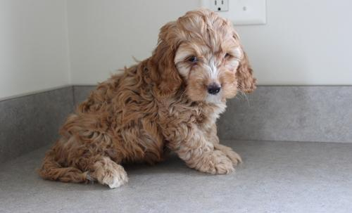 Cockapoo Puppy For Sale Adoption Rescue For Sale In Apple Creek
