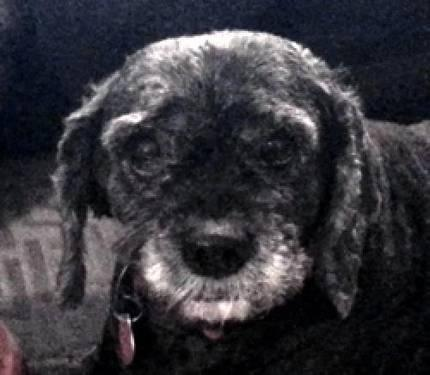 Cockapoo - Whiskers - Medium - Senior - Female - Dog
