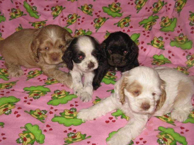 Cocker Spaniel Akc Puppies Chocolate Or Red Solid Parti For Sale