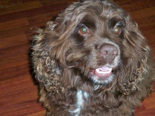 Cocker Spaniel - Buddie - Medium - Adult - Male - Dog