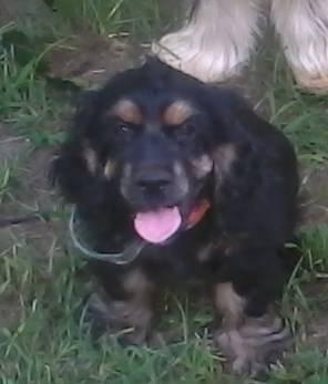 Cocker Spaniel - Chloe - Medium - Adult - Female - Dog