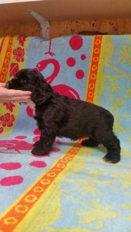 Cocker Spaniel Puppies AKC