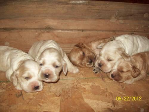 cocker spaniel puppies iowa cocker spaniel puppies for sale in crofton nebraska 7645