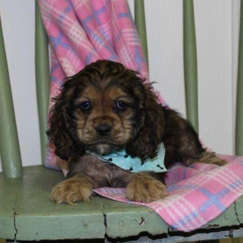 cocker spaniel puppies mn cocker spaniel puppies gorgeous for sale in eden valley 453