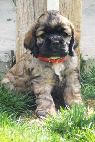 Cocker Spaniel Puppy For Sale Adoption Rescue For Sale In Ontario Oregon Classified
