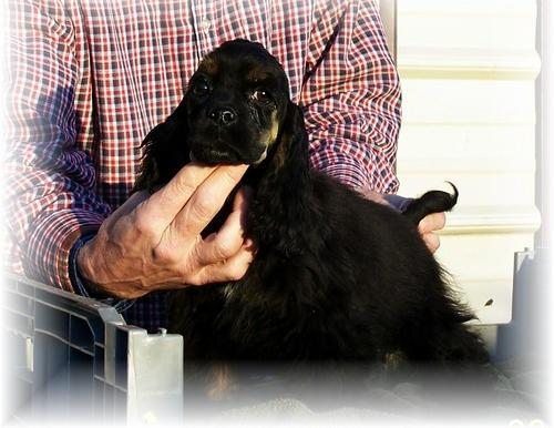 Cocker Spaniel Puppy for Sale - Adoption, Rescue for Sale in