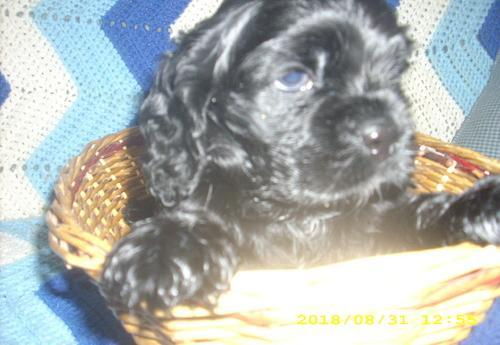 Cocker Spaniel Puppy for Sale - Adoption, Rescue