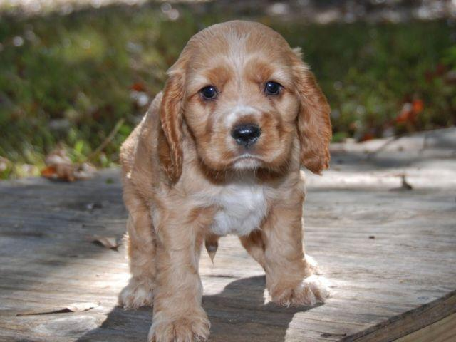 Cocker Spaniels Adorable Boys For Sale In Augusta
