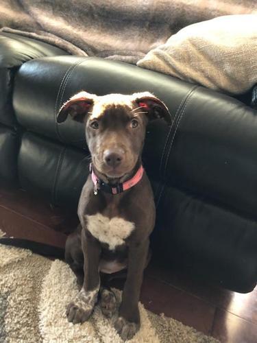 Coco Australian Shepherd Baby - Adoption, Rescue