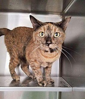 Cocoa Domestic Shorthair Adult Female