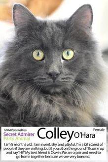 Colley O'Hara Domestic Shorthair Kitten Male