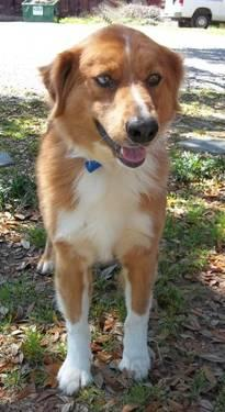 Collie - Groucho - Large - Adult - Male - Dog