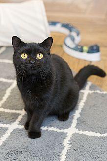 Colonel Floofbottom British Shorthair Kitten Male for Sale