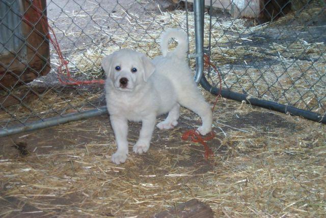 Colorado Mountain Dog Puppies Livestock Guard Dogs For