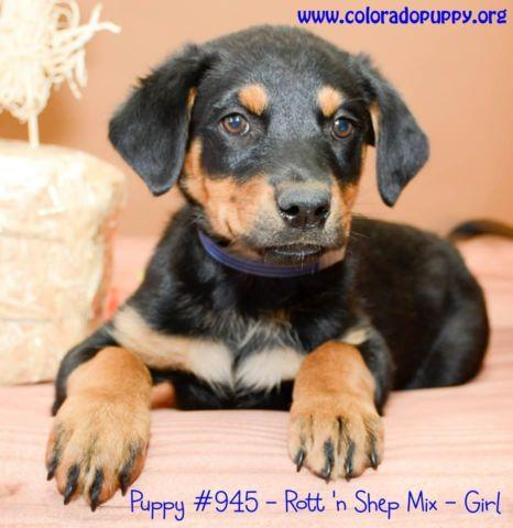 Colorado Puppy Rescue 2 For Sale In Aurora Colorado Classified