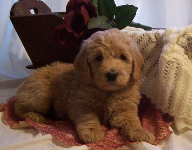 Coming Soon Pa F1b Mediumstandard Labradoodles Puppies For