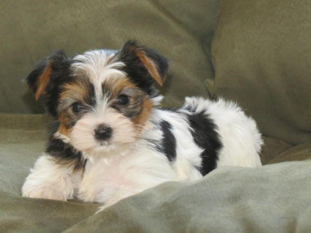 Conner Akc Parti Yorkie For Sale In Francisville Kentucky