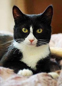 Connie Domestic Shorthair Adult Female