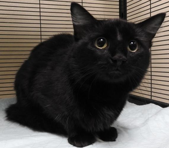 Conrad Domestic Medium Hair Adult Adoption Rescue For Sale In