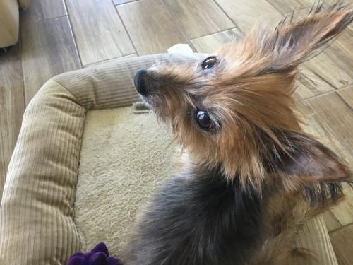 Contessa Yorkshire Terrier Yorkie Senior - Adoption, Rescue for Sale