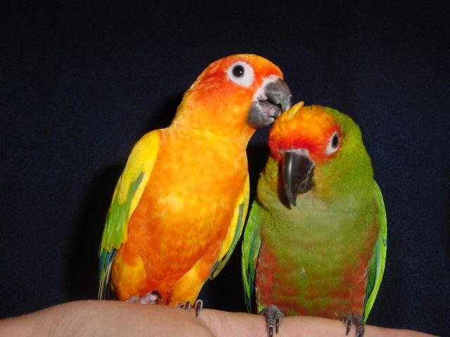 conure pair 1 sun conure and 1 gold capped conure americanlisted 50772093 Should I get my companion sun conure a buddy?