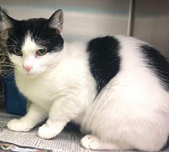 Cookie Domestic Shorthair Adult Female