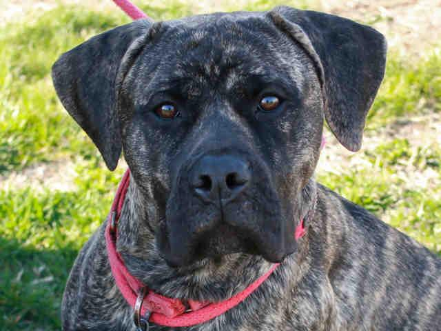 COOKIE Presa Canario Young - Adoption, Rescue