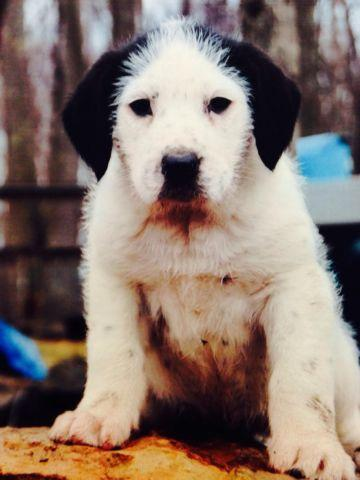 Coonhound/Old English Sheepdog Puppies