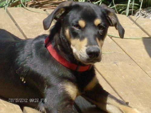 Coonhound - Rigley #213447 - Medium - Young - Male -