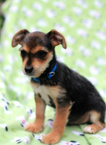 Cooper, Adorable Yorkshire Terrier Mix