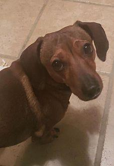 Cooper (Coming 3-23) Dachshund Adult Male