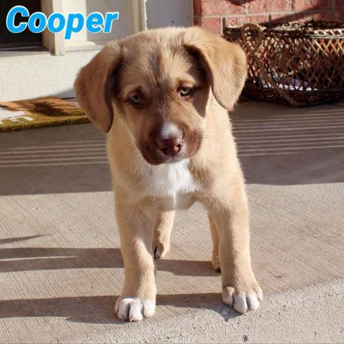 Cooper Labrador Retriever Baby - Adoption, Rescue