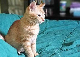 Copper Domestic Shorthair Young Female