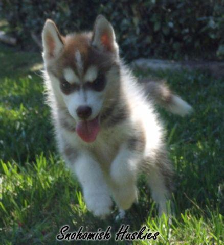 Copper White Siberian Husky Female Pup Ready Now For Sale In