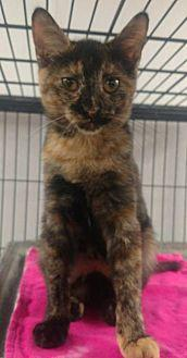 Corey Domestic Shorthair Kitten Female