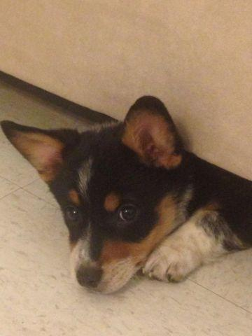 Corgi Puppy For Sale - 12 weeks old
