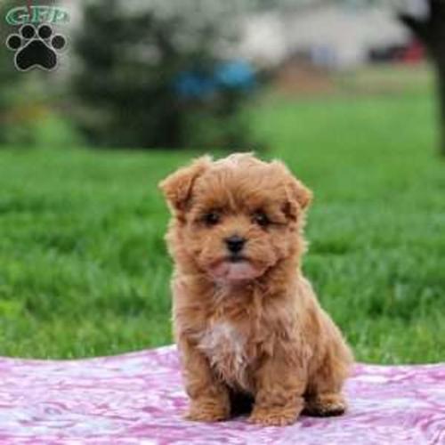 coton de tulear mix puppy litter for sale for sale in philadelphia