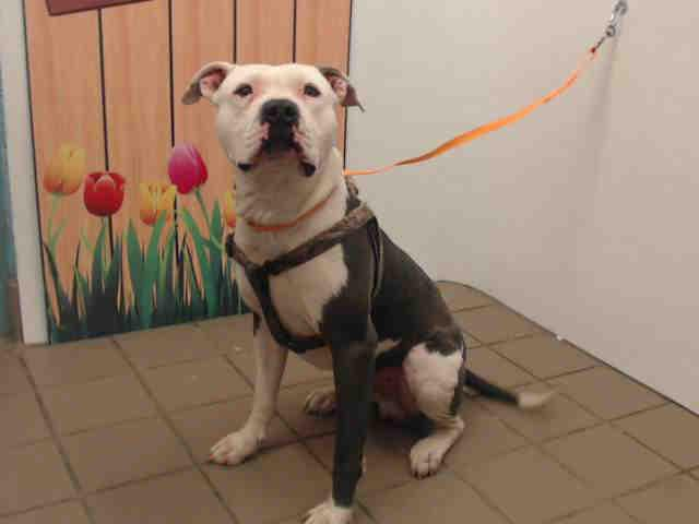 Cowboy American Bulldog Adult Adoption Rescue For Sale In