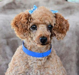 Cowboy Toy Poodle Adult Male For Sale In Colorado Springs