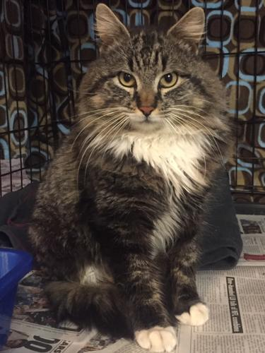 CP - NJ - Piper Maine Coon Adult - Adoption, Rescue for Sale