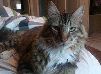 CP - VA - Gizzy Maine Coon Adult - Adoption, Rescue for Sale