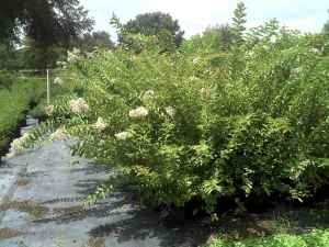 Crape Myrtles 5 To 6 Foot Tall Bushnell For Sale In