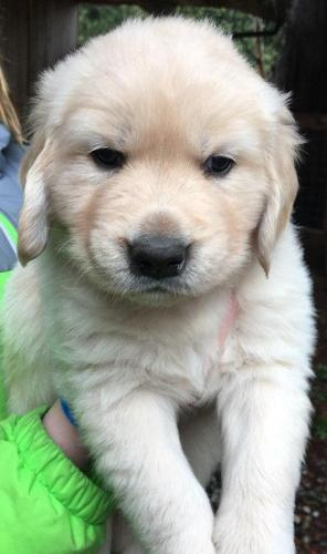 Cream Golden Retrievers Puppies