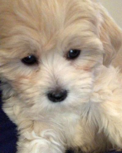 Cream Maltipoo Puppy for sale!