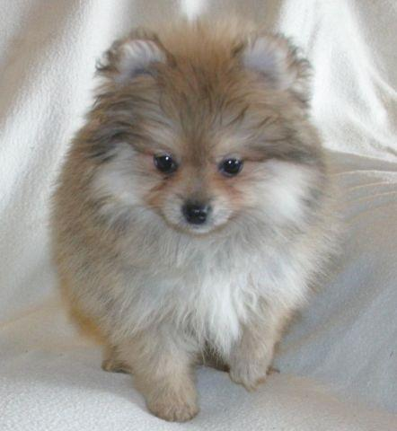 girl pomeranian cream sable toy pomeranian female for sale in bryan texas 7786