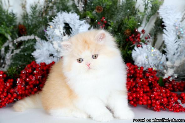 Cream & White Bi-Color Teacup Persian Kitten For Sale Xmas promo ...