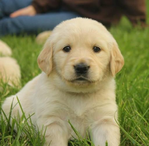 Cream White Golden Retriever Puppies For Sale In Branson Missouri