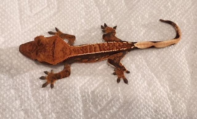 crested geckos -- 10 months - 4 years Gecko Adult - Adoption
