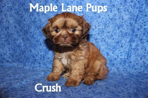 Crush Stunning Akc Male Shih Tzu Puppy Ready To Join His New