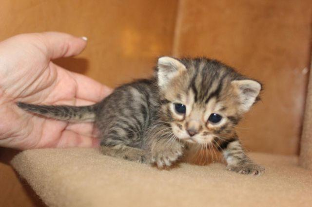 cubbari, british shorthair, bengal kittens for sale (new